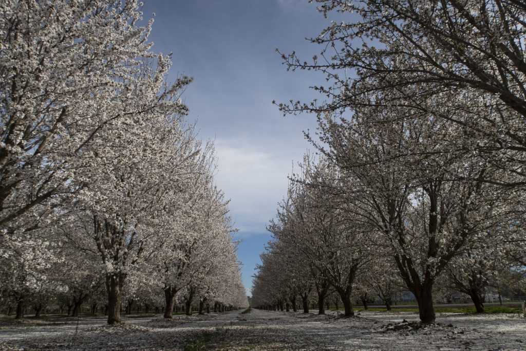 Almond Trees Blooming Season in California. This is where the almond milk in our gelatos comes from.